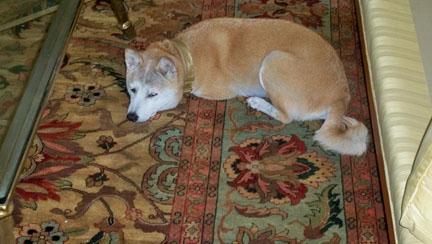 Kiko napping