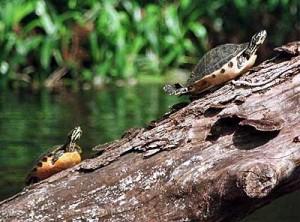 loxabatchee-turtle