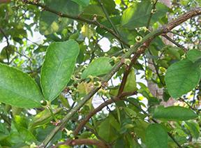 Lime buds
