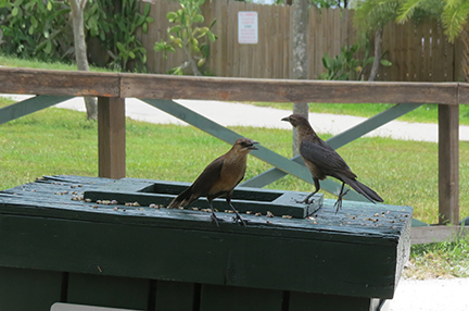 scavenger birds at the snack shack